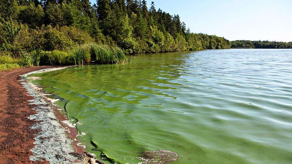 Tunnista sinilev n aiheuttamat myrkytysoireet for Construccion de estanques para tilapia