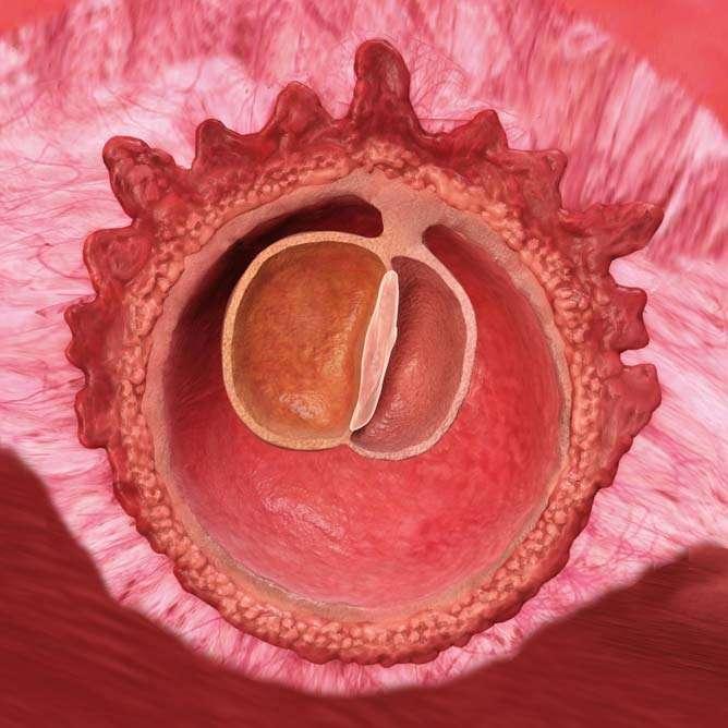Under loppet av denna vecka kommer embryot bestå av tre lager.