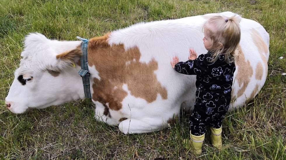 Kaiturin tilan lehmät eivät ole tuotantoeläimiä, vaan tilan emännän mukaan kulttuurintuottajia. Kuvassa kulttuurintuottaja Heilikki.