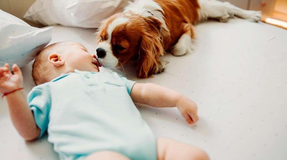 Kun vauva tulee kotiin, paras tapa on esitellä ihmislapsi koiralle saman tien – turvallisuus huomioiden. Kuva: iStock